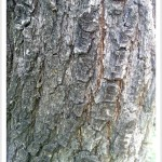 callery pear - Identify by Bark