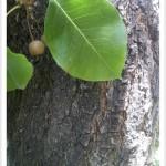 callery pear - Pyrus calleryana - Fruit - Bark - Leaf Tip