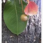 callery pear - Pyrus calleryana - Leaf - Fruit - Bark