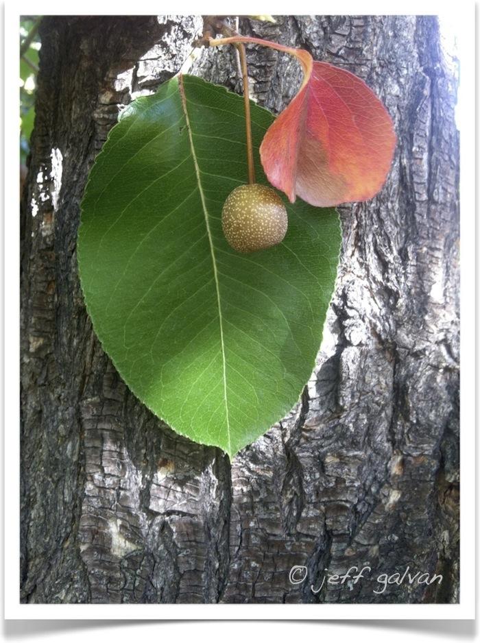 callery pear