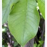 chokecherry leaf