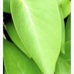 common lilac tree, leaf