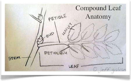 compound leaf anatomy