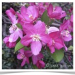 Crabapple with beautiful pink flowers.