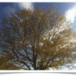 honeylocust - Gleditsia triacanthos tree