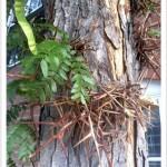 honeylocust - identifying by leaf