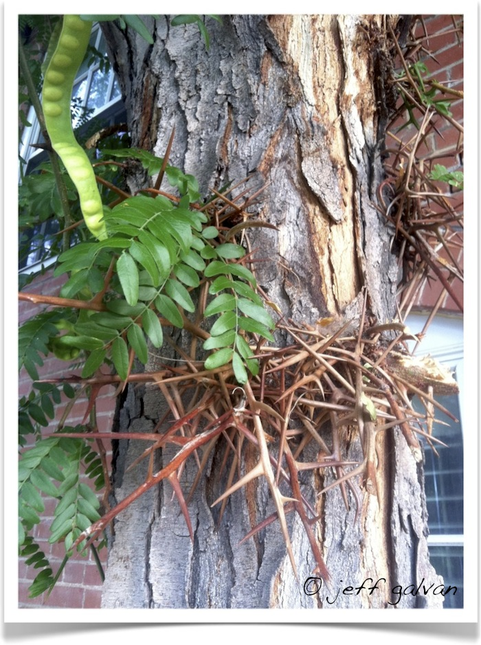 honey locust - Gleditsia triacanthos - Leaf - Seeds - Thorns