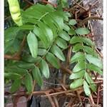 honeylocust leaves