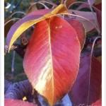 ear bartlett identify by leaf