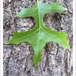 pin oak - identifying by leaf