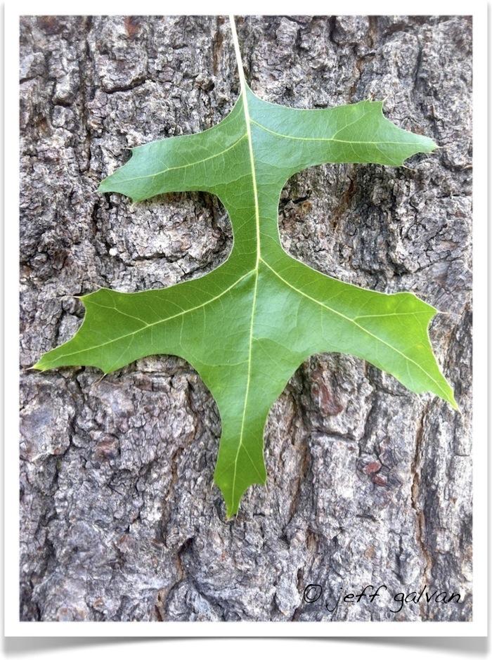 pin oak - Quercus palustris - Leaf and Bark