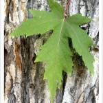 Maple, Silver - leaf