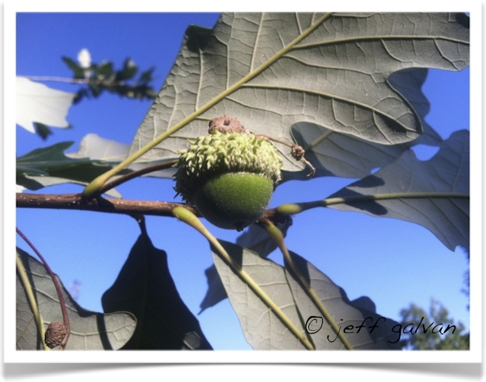swamp white oak acorn and stem