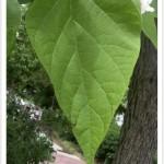 western catalpa leaf
